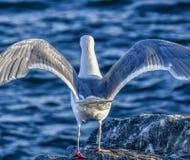 Emplacement d'oiseau de mouette sur la surface de roche avec les ailes ouvertes photos stock