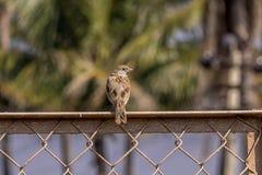 Emplacement indien de moineau sur une maille Images libres de droits