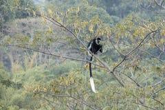 Emplacement noir et blanc de singe de colobus dans l'arbre Images stock