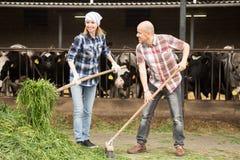 Employés travaillant avec traire le troupeau dans la grange de bétail Photo libre de droits