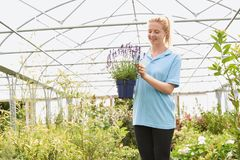 Female Employee At Garden Center Holding Lavender Plant In Green. Employee At Garden Center Holding Lavender Plant In Greenhouse stock photography