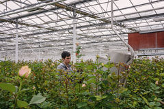 Employees of large greenhouses Stock Image
