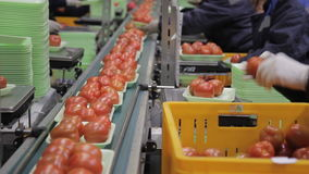 Employees weigh tomatoes and put them on conveyor belt indoors. stock video