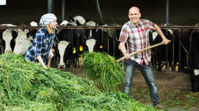 Employees working in livestock barn Royalty Free Stock Image