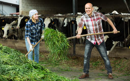 Employees working in livestock barn Royalty Free Stock Images