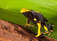 Empoisonnez l'orange lumineuse de grenouille de dard sur la lame verte Images stock