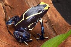 Empoisonnez la grenouille de dard photographie stock