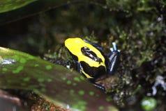 Empoisonnez la grenouille de dard photo stock