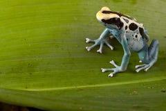 Empoisonnez la grenouille de dard sur la lame verte dans la jungle d'Amazone photos libres de droits