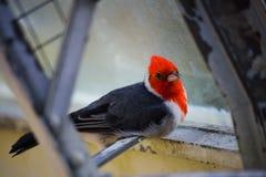 Empoleirar-se cardinal com crista vermelho Imagem de Stock
