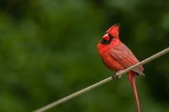 Empoleirar-se cardinal masculino com a cabeça inclinada fotos de stock