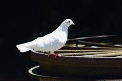 Empoleirar-se da pomba do branco Imagem de Stock