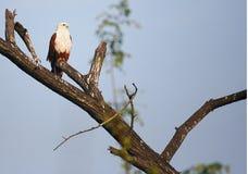 Empoleirar-se do papagaio de Brahminy fotos de stock royalty free