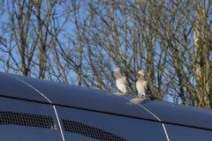 Empoleirar-se dos pombos Imagem de Stock Royalty Free