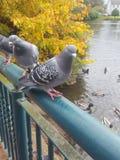 Empoleirar-se dos pombos fotos de stock royalty free
