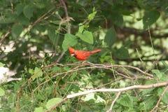 Empoleirar-se vermelho do pássaro fotografia de stock royalty free