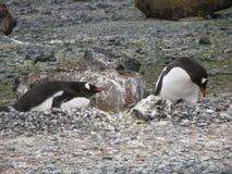 Empollamiento de los pingüinos de Gentoo Fotografía de archivo libre de regalías