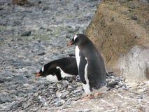 Empollamiento de los pingüinos de Gentoo Imagen de archivo