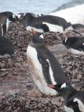Empollamiento de los pingüinos de Gentoo Fotos de archivo libres de regalías