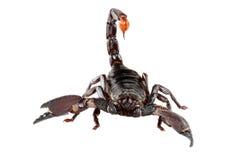 emporer蝎子 库存照片