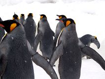 Emporer Penguin. A group of Emporer Penguin was doing parade in Asahikawa Zoo in Hokkaido, Japan Stock Photography
