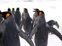 Emporer Penguin Stock Photography