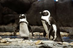 Emporer penguins Royalty Free Stock Images