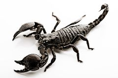 Emporer Scorpion royalty free stock photo