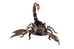 Emporer Scorpion. S (Pandinus imperator) are from West Africa.  They live and thrive in hot, humid regions Stock Photo