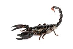 Emporer Scorpion  (Pandinus imperator). Emporer Scorpions are from West Africa.  They live and thrive in hot, humid regions.  Not aggressive.  Sting hurts, but Royalty Free Stock Photos