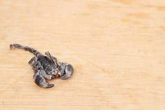 Emporer Scorpion (Pandinus imperator) stock photo