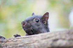 Emporragen des Eichhörnchens Stockfoto