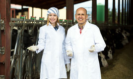 Empregados da exploração agrícola que estão perto de ordenhar o rebanho Fotografia de Stock