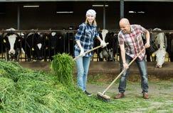 Empregados que trabalham no celeiro dos rebanhos animais Fotos de Stock Royalty Free