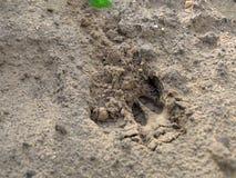 Empreinte de pas de cerfs communs Photographie stock