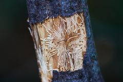 Empreinte de voies de scarabée d'écorce photographie stock