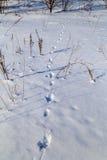 Empreintes de pas animales dans la neige Photographie stock libre de droits
