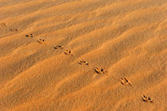 Empreintes de pas animales en sable Image stock