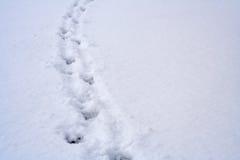 Empreintes de pas animales sur la neige Photos libres de droits