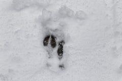 Empreintes de pas de cerfs communs dans la neige Photo stock