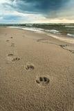 Empreintes de pas de chien au bord de la mer Photos libres de droits