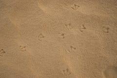 Empreintes de pas des oiseaux d'IBIS d'Australien sur le sable humide de plage Photo libre de droits