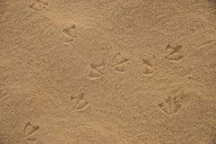 Empreintes de pas des oiseaux d'IBIS d'Australien sur le sable humide de plage Photo stock