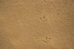 empreintes de pas des oiseaux d'IBIS sur le sable humide de plage Image stock