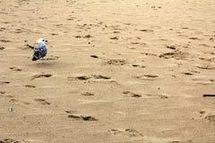 Empreintes de pas et mouette sur la plage sablonneuse sur le bord de la mer de la Mer Noire chez Obzor, Bulgarie Photographie stock libre de droits