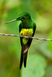 Empress Brilliant Hummingbird. From Ecuador royalty free stock photos