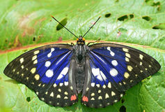 Empress Sasakia charonda formosana (Shirozu)】. In July, photographs the Chinese Zhejiang Province, the elevation 800 meters, the wing extends 90mm, wing's blue Stock Photography