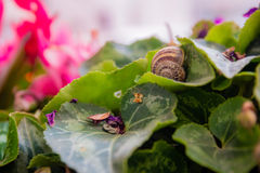 Emptay snail shell on a cyclamen leaf at the garden Stock Photo