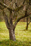 Empty apple trees in late november Stock Photos