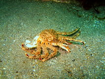 Empty armour of the king crab Royalty Free Stock Photo